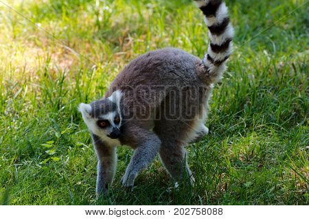 Single ring-tailed lemur on a sunny day