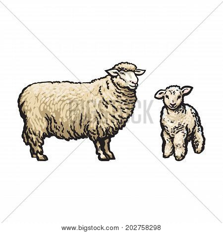 vector sketch cartoon style sheep and lamb set. Isolated illustration on a white background. Hand drawn animal without horns. Cattle, farm cloven-hoofed livestock animal, wool products design object