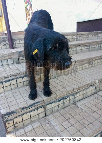 The urban homeless black dog with a yellow chip in the ear indicating that it is outlined