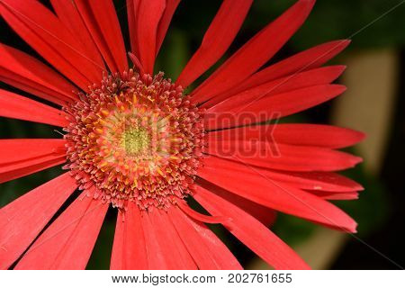 Close up of red daisy flower in the garden