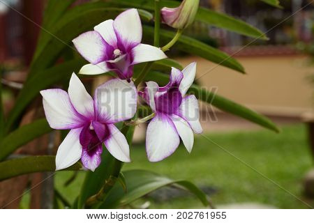 Beautiful white purple orchid in the garden