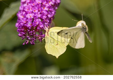 Small white (Pieris rapae) and Brimstone (Gonepteryx rhamni) butterflies. Male small white investigates potential mate in a case of mistaken identity