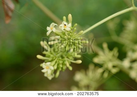 Papaya flower and bud in the garden