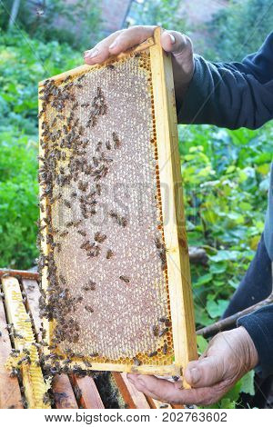 Raw Honeycomb. Honeycomb frame with honey bees in the beekeeper hand. Buy Honeycomb.