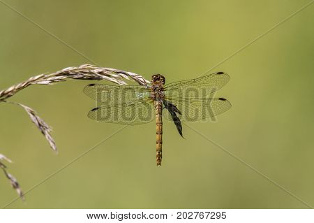 Common darter (Sympetrum striolatum) on grass, dorsal view. Female dragonfly in the family Libellulidae