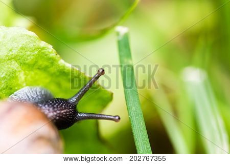 Small Snail Crawling On Green Leaf