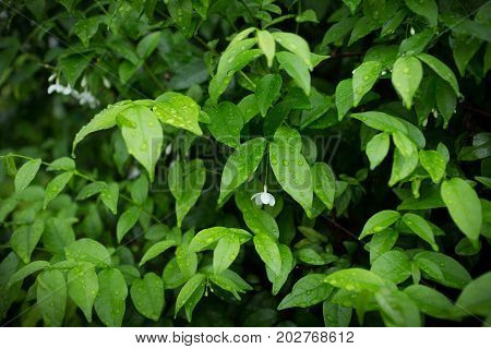 the green bushes background. Leaves texture background