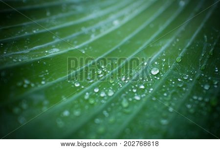 Natural background fresh green leaf texture and water drops