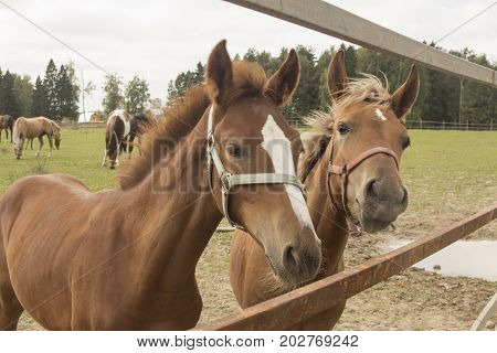 Two young foals near corral fence waiting for something