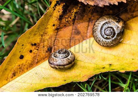 Small Snail Crawling On Yellow Leaf