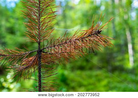 in the foreground closeup a one dry sprout or a sapling of a pine against the background of indistinct
