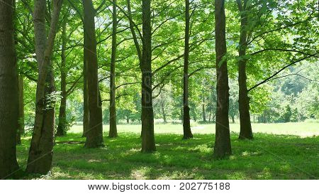 Summer landscape green beautiful forest. Landscape theest
