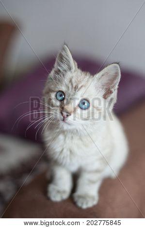 little beautiful kitten of light color. the small kitten sits