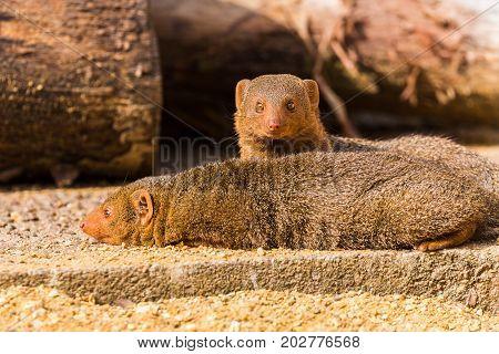 Common Dwarf Mongoose Pair