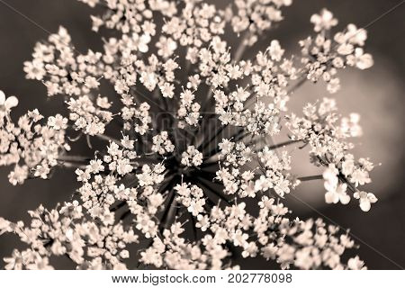 Inflorescence of Pimpinella saxifraga, or burnet-saxifrage, solidstem burnet saxifrage, lesser burnet or salad burnet . Close-up of wildflower. Black and white