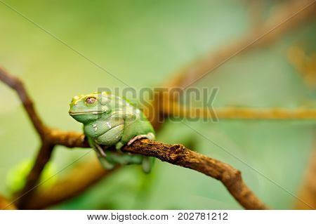 American green tree frog on a tree.