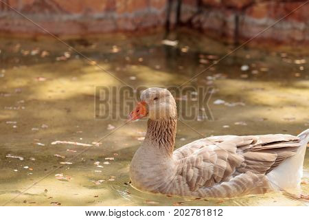American Buff Goose Anser Anser Domesticus