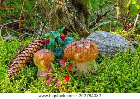 Young, small mushrooms in the forest among the green moss, speckled lies bump and stone.