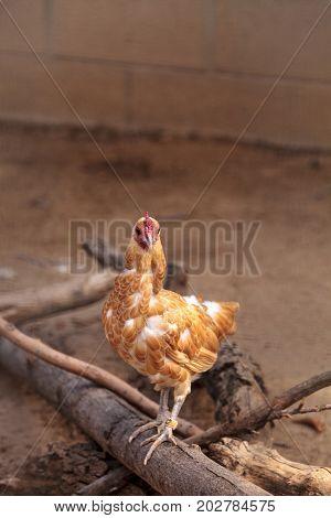 Buff Colored Cochin Chicken