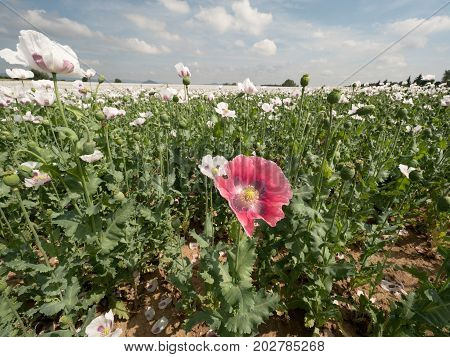 White Poppy Flower In The Wind. Filed With Green Poppy Heads In Background.