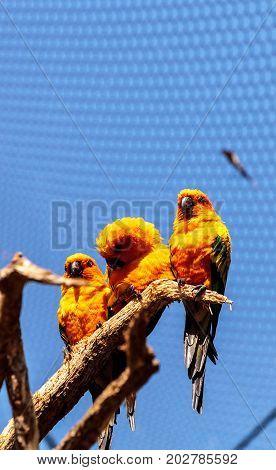 Bright yellow and orange sun conure parakeet Aratinga solstitialis