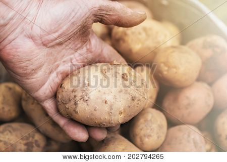 Fresh potatoes in old elderly farmer's hand above the bucket. Toned image