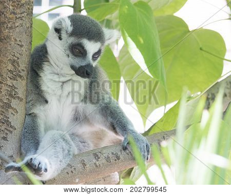 Ring tailed Madagascar lemur sitting in a tree looking pensive, gentle and calm,