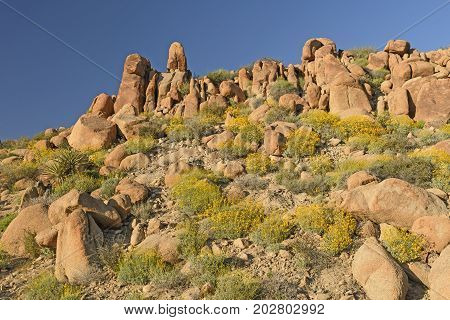 The Desert in Bloom in Spring in Joshua Tree National Park in California