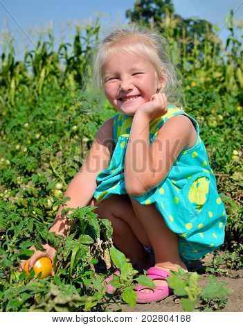 A Little Girl Is Harvesting Tomatoes On A Kitchen-garden.