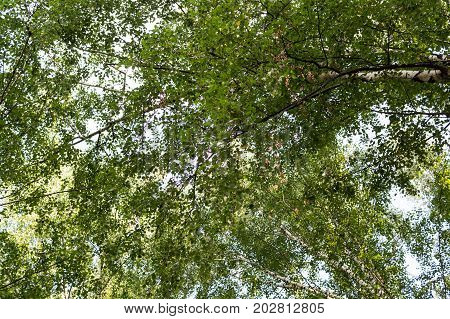 tree crowns in the summer forest. nature background.