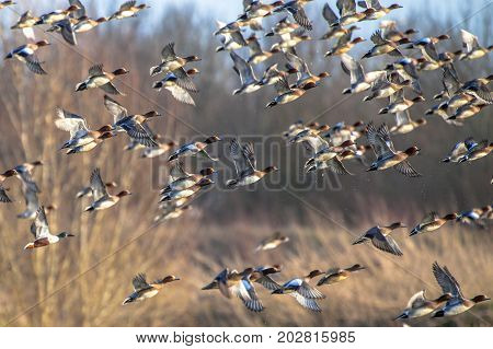 Flock Of Migratory Eurasian Wigeon Ducks