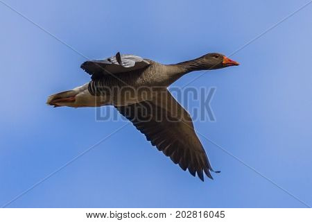 Bif Migrating Greylag Goose
