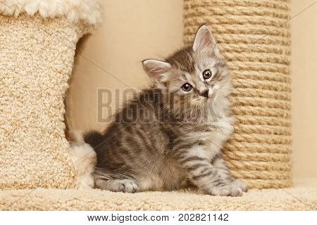 Lovely little kitty stands next to the cat's house. He looks at the camera. Pets. Hypoallergenic breed of cats