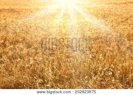 Wheat field golden sunset background. Harvest time backdrop.