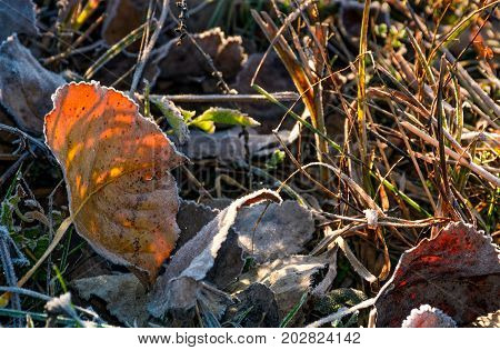 Reddish Leafs On Ground In Frosted Grass