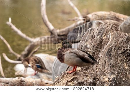 Wild Mallard duck bird Anas platyrhynchos at the edge of a pond in Southern California United States