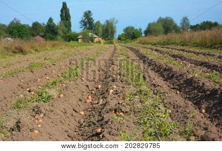 Potatoes field harvesting. Organic Farm Potatoes Harvest.