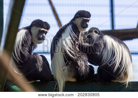 Mantled guerezas in the zoo
