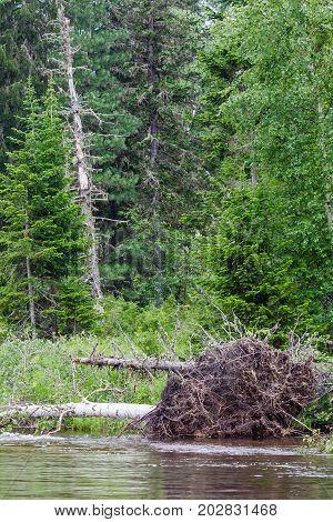 Landscape with fallen big tree. Rivers of Krasnoyarsk region, Russia