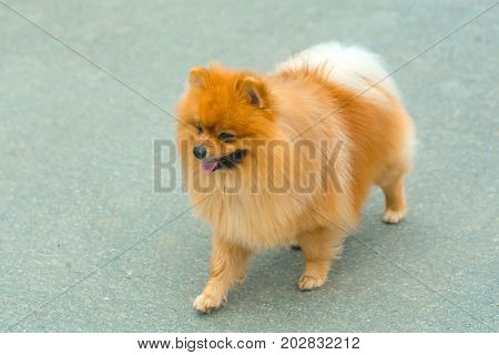 Pet and domestic animal. Spitz with red fluffy hair on grey pavement. Dog pomeranian walking outdoors. Friend friendship. Empathy