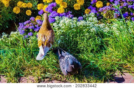 Two doves peck of flower seeds in the flower bed, summer landscape,