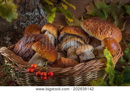 A beautiful still life from natural large white mushrooms, orange leaves and other gifts of the forest. Autumn still life of mushrooms