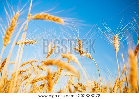 Picture of rye spikelets and clean sky