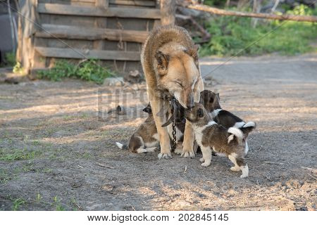 Beautiful and cute Siberian Laika puppies drink milk from their mother in summer