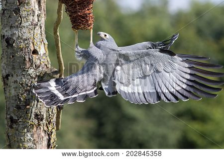 Amazing animal. African Harrier hawk (Polyboroides typus) bird of prey foraging for food at nest.