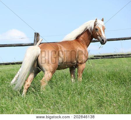 Nice Haflinger Stallion On Pasturage