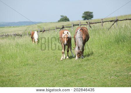 Three Haflingers On Pasturage