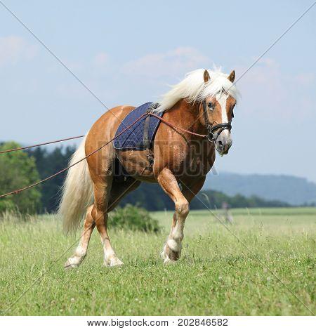 Amazing Haflinger Stallion In Training