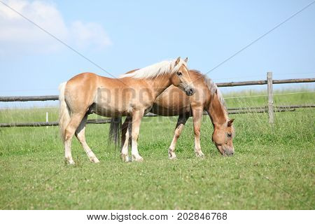 Haflinger Mare And Foal On Pasturage