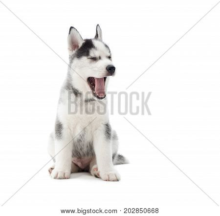 Little cute puppy siberian husky yawning with opened mouth, wanting sleep, after games. Furry little dog like wolf atanding, posing at studio, against white.